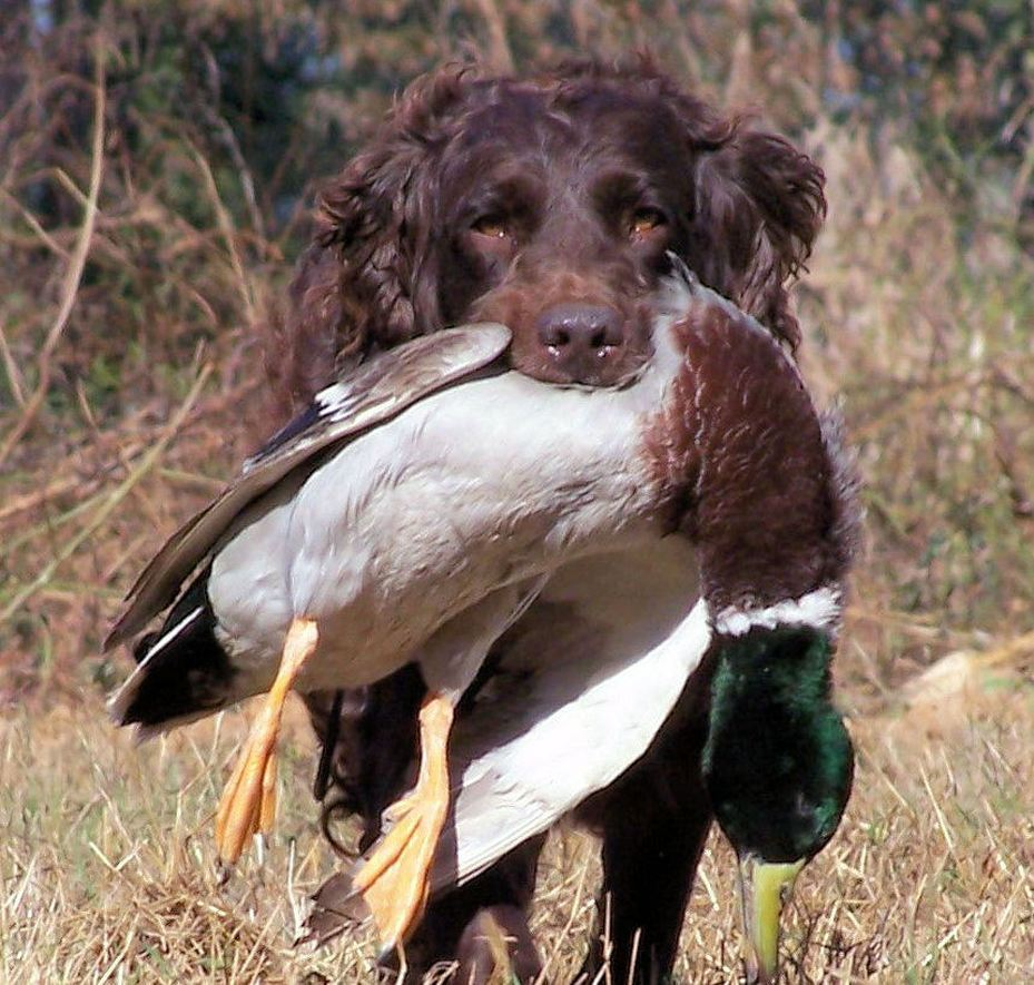 Boykin Training South Carolina Webfoot Retrievers