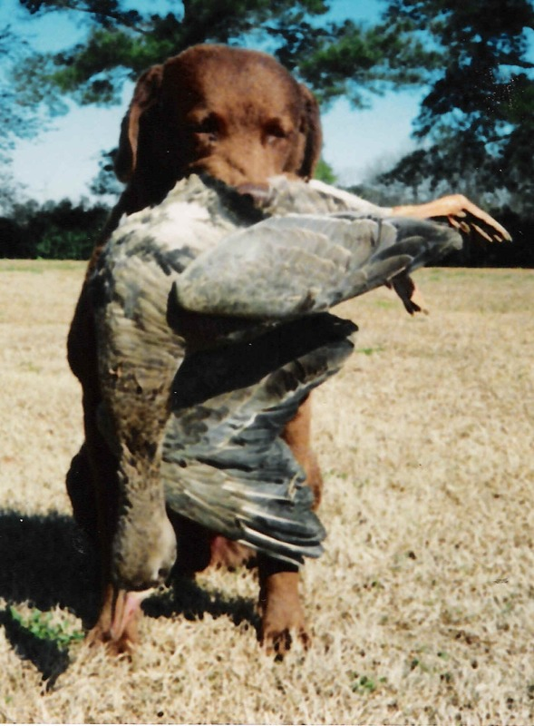 Brant Chesapeake Bay Retriever Training - WEBFOOT RETRIEVERS