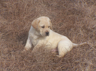 English Labrador Retriever Puppy South Carolina Webfoot Retrievers