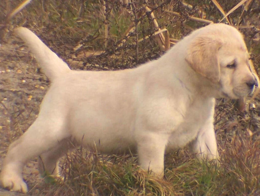 English Labrador Retriever Puppies South Carolina Webfoot Retrievers
