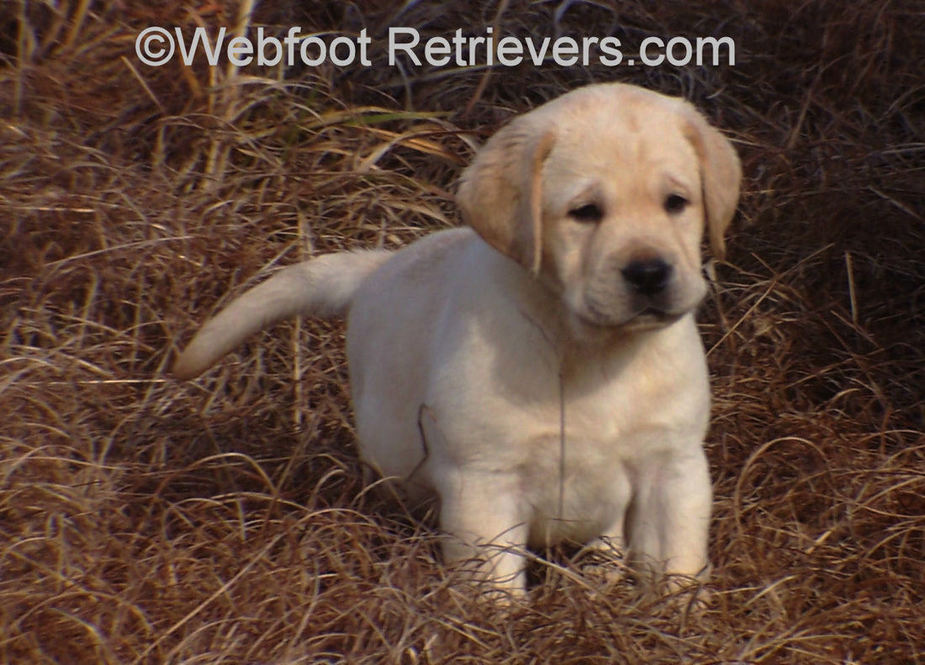 English Labrador Puppies South Carolina Webfoot Retrievers