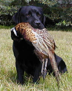 Training Hunting Dog To Heel Position Images
