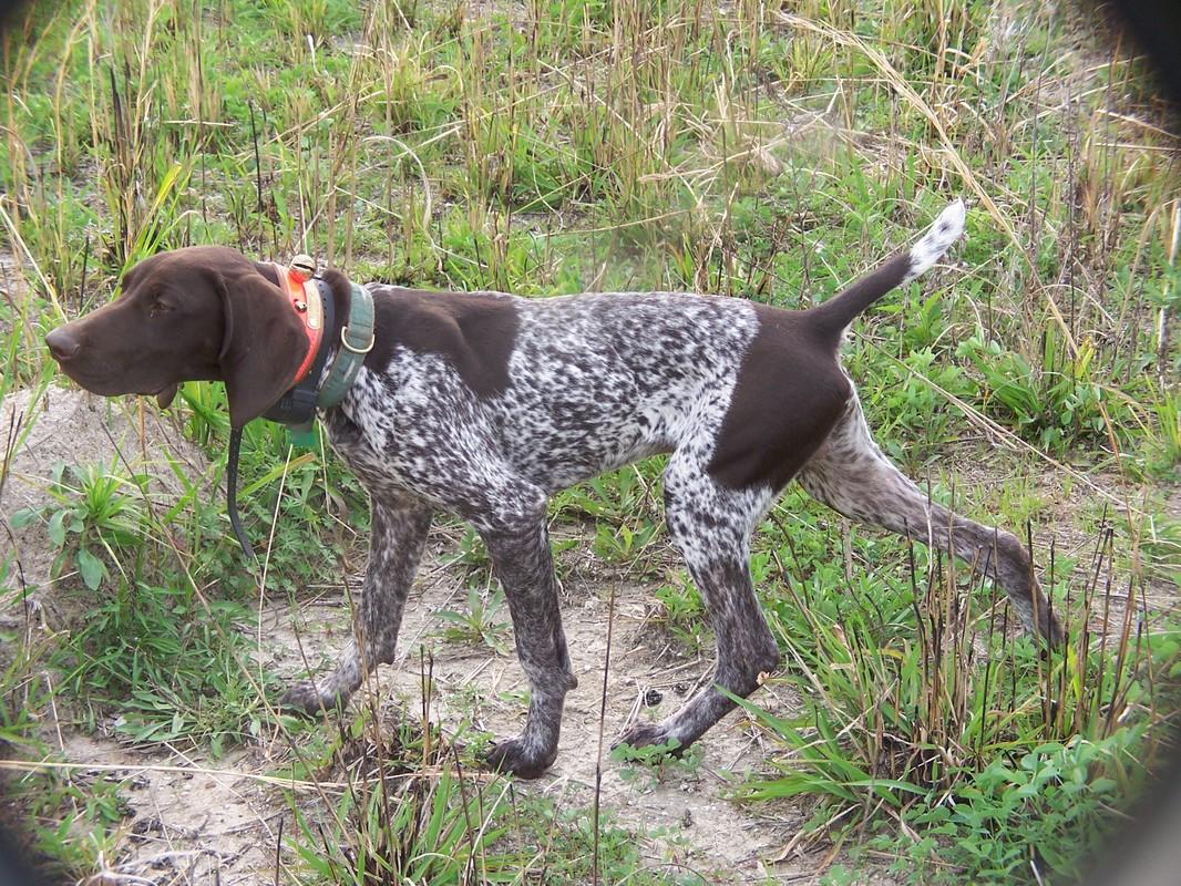 German Shorthaired Pointer Bird Dog Training